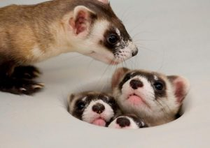 Mama_Ferret_Counts_her_Kids_(7537056038)