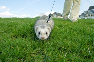 Hunting ferret with blur motion.