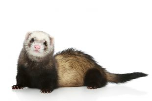 Ferret (Mustela putorius furo) on a white background