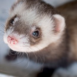 Headshot of a cute ferret with focus on the nose.